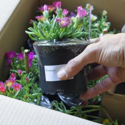 10 cm konténeres virágzó délvirág a Florapont kínálatában