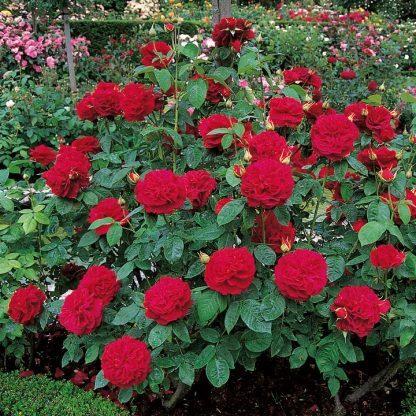 L.D. Braithwaite vörös angol rózsa