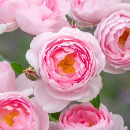 Scepter d'Isle rózsaszín angol rózsa