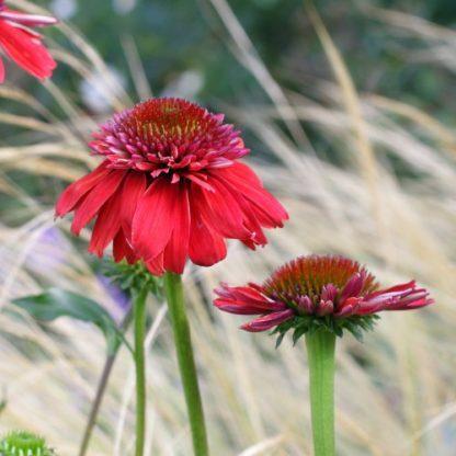 Echinacea 'Eccentric' – kasvirág