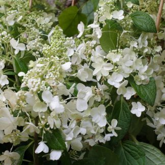 Hydrangea paniculata 'Candlelight' – bugás hortenzia