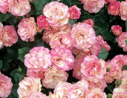 Rosa Bordure Rose rozsaszin-agyasrozsa