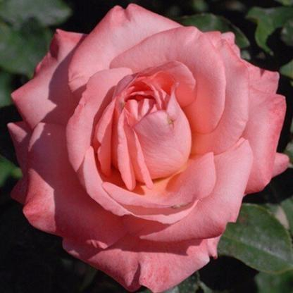 Rosa Chic Parisien rózsaszín ágyásrózsa
