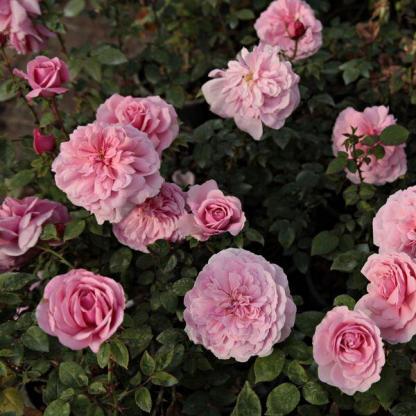 Rosa Fluffy Ruffles rózsaszín ágyásrózsa