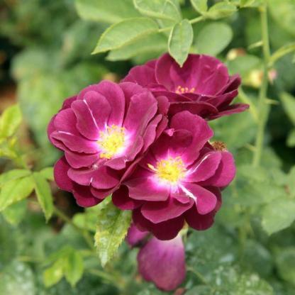 Rosa Forever Royal lila ágyásrózsa
