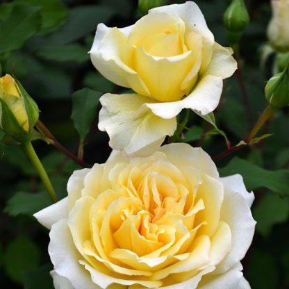 Rosa Rivedoux-plage sárga rózsaszín ágyásrózsa