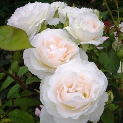 Rosa Sweet Blondie fehér ágyásrózsa
