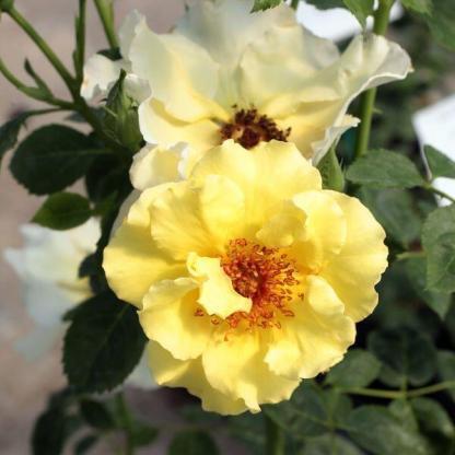 Rosa Tibet Rose sárga ágyásrózsa