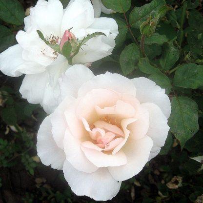 Rosa White Queen Elizabeth fehér ágyásrózsa