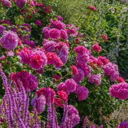 Princess Anne rózsaszín angol rózsa