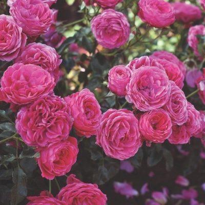 Dolce ehető rózsa