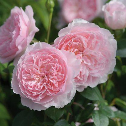 Wisley rózsaszín angol rózsa