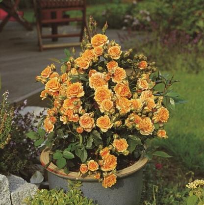 Clementin miniatűr rózsa