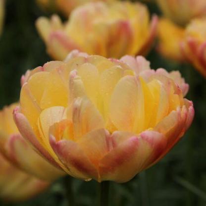 ATulipa 'Cream Upstar'® sárgás-rózsaszínes, különleges színvilágú és formájú, teltvirágú tulipán.
