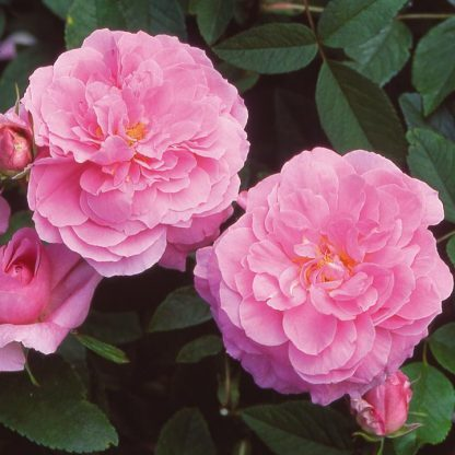 The Mayflower rózsaszín angol rózsa