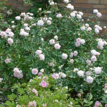 Rozemoor rózsaszín angol rózsa