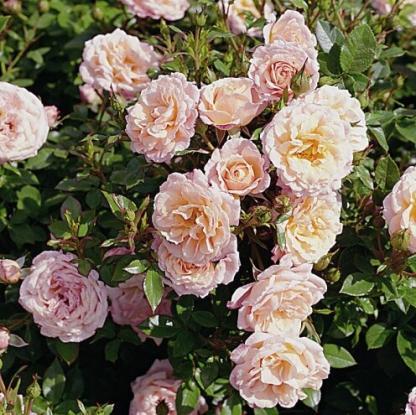 Peach Clementine miniatűr rózsa