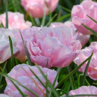 A Tulipa 'Mariage' halvány rózsaszín, peónia formájú, teltvirágú tulipán.