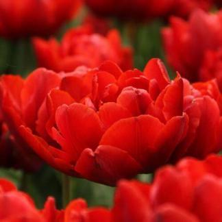 A Tulipa 'Red Princess' - teltvirágú tulipán piros virágfejein sötét csík futhat végig.