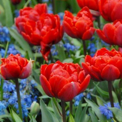 A Tulipa 'Red Princess' - teltvirágú tulipán a 'Prinses Irene' - Triumph tulipán piros színű, teltvirágú változata.