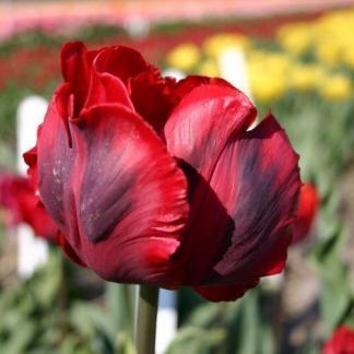 A Tulipa 'Shining Parrot' - papagáj tulipán hullámos, élénk piros szirmain sötét csíkok húzódnak.