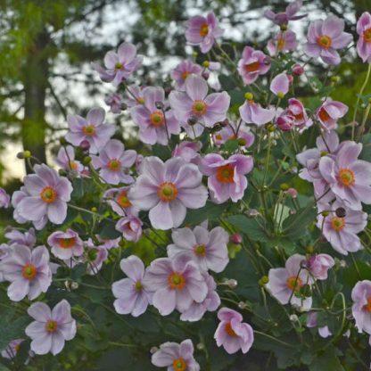 Anemone hybrida Königin Charlotte kerti őszirózsa