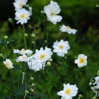 Anemone hybrida Whirlwind kerti szellőrózsa