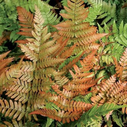 Dryopteris erythrosora japán ernyőpáfrány