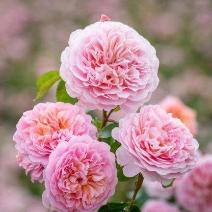 Eustacia Vye angol rózsa