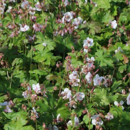 Geranium Harz gólyaorr
