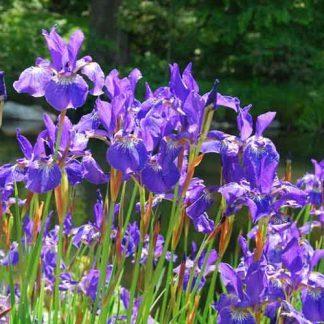 Iris sibirica Caesars Brother nőszirom