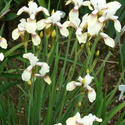 Iris sibirica Snow Prince szibériai nőszirom