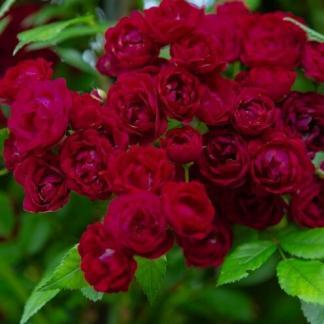 Perennial Domino piros futórózsa