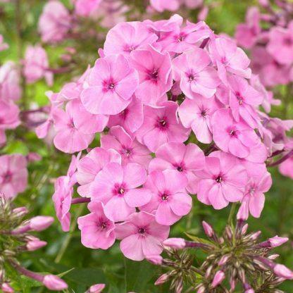 """Phlox amplifolia 'Minnehaha' - nagylevelű lángvirág 1 <span class=""""st"""">A <strong>Phlox amplifolia 'Minnehaha' - nagylevelű lángvirág </strong>90-110 cm magas, július-augusztusban hozza rózsaszínű, sötszemű virágait. Németországból származó hibrid fajta, szárazságtűrő, ellenálló.</span> <em><span lang=""""HU"""">Kiszerelés: 15 cm-es ültetőedényben</span></em>"""