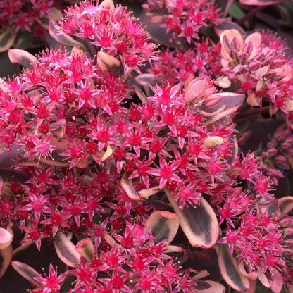 Sedum sunsparkler Dream Dazzled varjuhaj virág