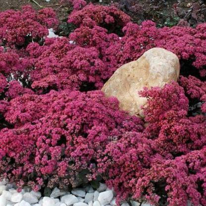 Sedum sunsparkler Plum Dazzled varjuhaj virág