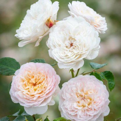 Emily Bronte angol rózsa