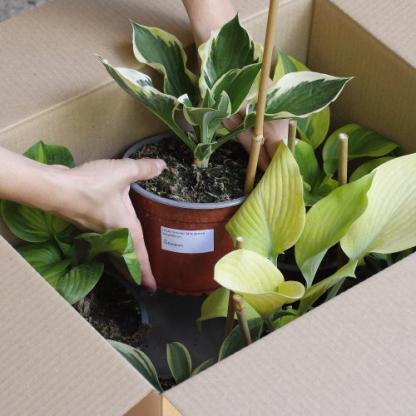 14 cm konténeres árnyékliliom rendelés a Florapont kínálatában