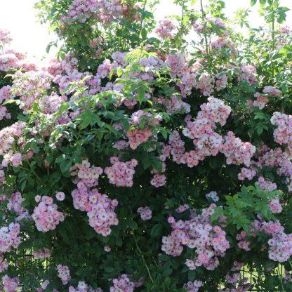 Apple Blossom kúszórózsa