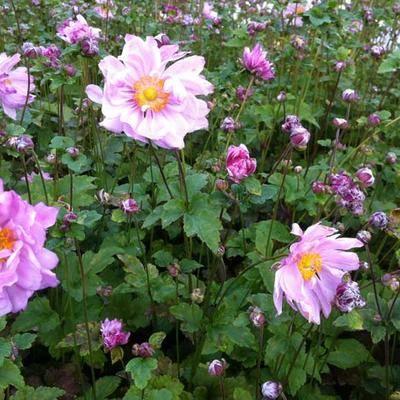 Anemone hybrida Mont Rose kerti szellőrózsa