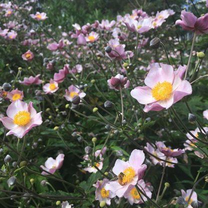 Anemone hybrida Splendens japán szellőrózsa