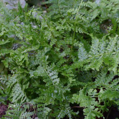 Athyrium filix-femina 'Rotstiel Grandiceps' – hölgypáfrány