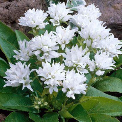 Campanula glomerata White csomós harangvirág
