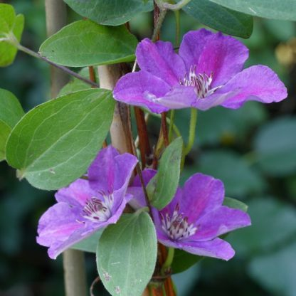 Clematis 'Ashva' – nagyvirágú, késői virágzású klemátisz