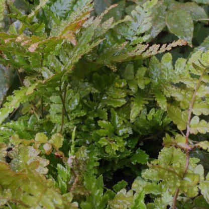 Dryopteris erythrosora 'Prolifica' – japán pajzsika