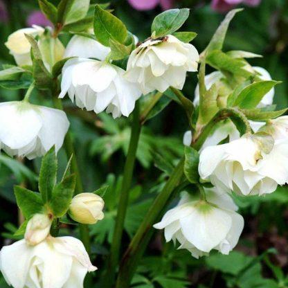 Helleborus 'Double Ellen White' - hunyor 1 A <strong>Helleborus 'Double Ellen White' - hunyor </strong>35 cm magas, dupla, hófehér virágai vannak. <ul> <li><em>Kiszerelés: 11x11cm-es cserépben </em></li> </ul>
