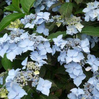 Hydrangea serrata Blue Deckle érdeslevelű hortenzia