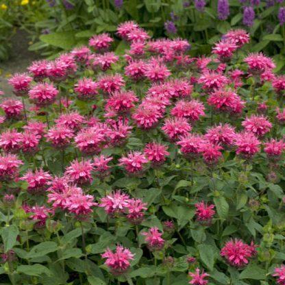 Monarda didyma Pink Lace méhbalzsam