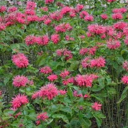 Monarda didyma Pink Lace méhbalzsam növény