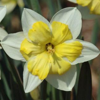 Narcissus Bella Estrella osztott koronaju narcisz